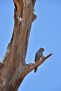 Grey Kestrel